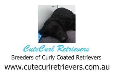 cute curl retrievers